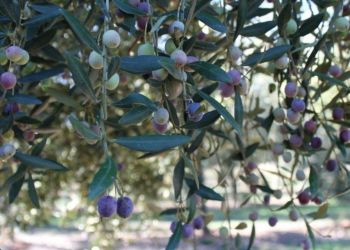 Olive Oil Farm Tour on Mallorca Island