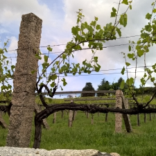 Pazo Baion Albarino Winery - Vines with granite pillars