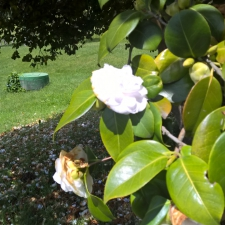 Pazo Baion Albarino Winery - Camellia Tree Flower